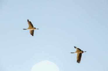 Black-necked Cranes, Phobjikha Valley